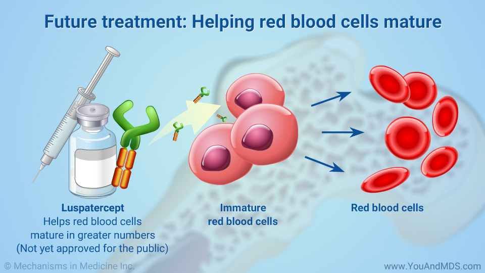 Future treatment: Helping red blood cells mature
